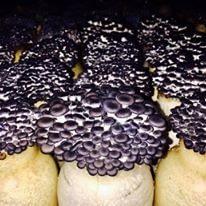 Cogumelo Shimeji Preto 200g 1